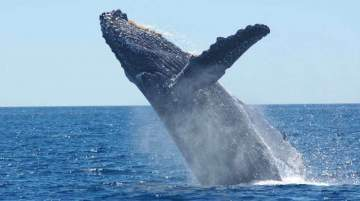Whale watching coincides with the busiest season in Mozambique