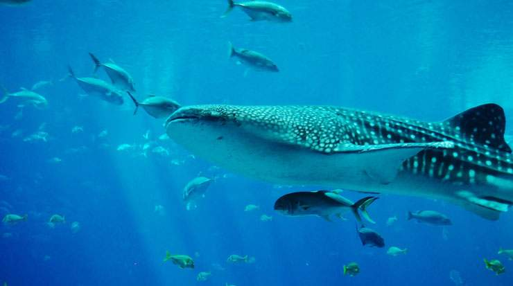 Despite its colossal size the Whale Shark does not pose any threat to humans