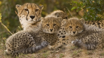 Malawi Welcomes Endangered Cheetah Cubs