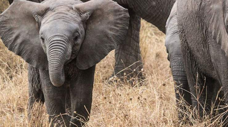 More than 20,000 African elephants are illegally killed each year to trade their tusks