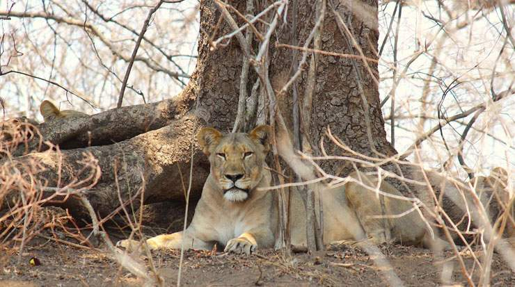 The translocation marks the Majete's pride return which was entirely poached out decades ago